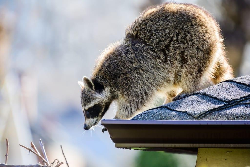 Ein Waschbär auf einem Dach, der die Rinne mit den Pfoten packt